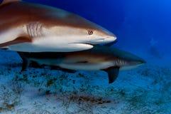 καραϊβικοί καρχαρίες σκ&omi Στοκ Εικόνα