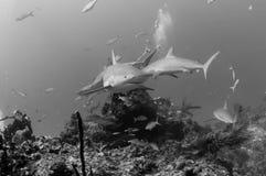 καραϊβικοί καρχαρίες σκ&omi Στοκ Φωτογραφίες