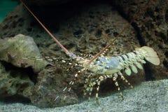 Καραϊβικός ακανθωτός αστακός Panulirus Argus Στοκ φωτογραφία με δικαίωμα ελεύθερης χρήσης
