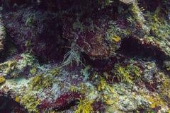 καραϊβικός αστακός ακαν&theta Στοκ Εικόνα