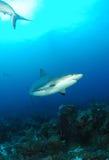 Καραϊβικός γκρίζος καρχαρίας σκοπέλων Στοκ Φωτογραφίες