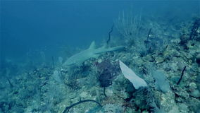 Καραϊβικός καρχαρίας νοσοκόμων που επιπλέει στα μεγάλα θαλάσσια βάθη απόθεμα βίντεο