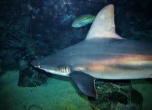 καραϊβικός καρχαρίας σκοπέλων στοκ φωτογραφία με δικαίωμα ελεύθερης χρήσης
