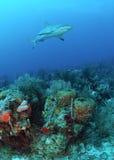 Καραϊβικός καρχαρίας σκοπέλων Στοκ φωτογραφίες με δικαίωμα ελεύθερης χρήσης