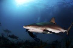 Καραϊβικός καρχαρίας σκοπέλων Στοκ Εικόνα