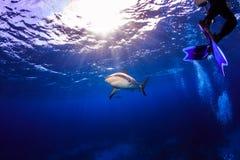 Καραϊβικός καρχαρίας σκοπέλων κάτω από την επιφάνεια με το witho κολύμβησης δυτών Στοκ φωτογραφίες με δικαίωμα ελεύθερης χρήσης