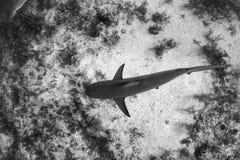 Καραϊβικός καρχαρίας σκοπέλων πέρα από το σκόπελο Στοκ φωτογραφίες με δικαίωμα ελεύθερης χρήσης