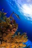 Καραϊβικός καρχαρίας σκοπέλων πέρα από το σκόπελο Στοκ εικόνα με δικαίωμα ελεύθερης χρήσης