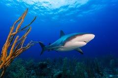 Καραϊβικός καρχαρίας σκοπέλων πέρα από το σκόπελο Στοκ εικόνες με δικαίωμα ελεύθερης χρήσης