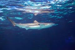 Καραϊβικός καρχαρίας σκοπέλων Στοκ Εικόνες