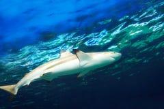 Καραϊβικός καρχαρίας σκοπέλων Στοκ Φωτογραφία