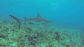 καραϊβικός καρχαρίας σκοπέλων απόθεμα βίντεο