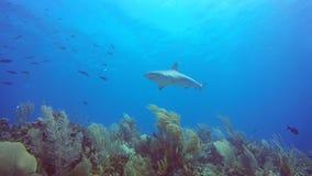 Καραϊβικός καρχαρίας σκοπέλων Jardin de Λα Reina, Κούβα φιλμ μικρού μήκους