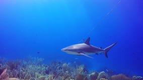 Καραϊβικός καρχαρίας σκοπέλων Jardin de Λα Reina, Κούβα απόθεμα βίντεο
