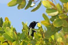 Καραϊβικός κόρακας στοκ εικόνα