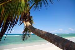 καραϊβικός φοίνικας παρα&la Στοκ Εικόνες