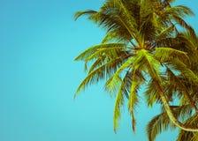 καραϊβικός φοίνικας της Κούβας καρύδων στοκ φωτογραφία με δικαίωμα ελεύθερης χρήσης