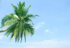 καραϊβικός φοίνικας της Κούβας καρύδων Στοκ Εικόνες
