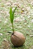 καραϊβικός φοίνικας της Κούβας καρύδων στοκ φωτογραφία