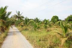 καραϊβικός φοίνικας της Κούβας καρύδων στοκ φωτογραφίες