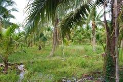 καραϊβικός φοίνικας της Κούβας καρύδων στοκ εικόνες με δικαίωμα ελεύθερης χρήσης