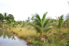 καραϊβικός φοίνικας της Κούβας καρύδων στοκ εικόνα με δικαίωμα ελεύθερης χρήσης