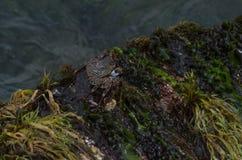 Καραϊβικό καβούρι Στοκ Εικόνα