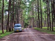 Καραϊβικό πεύκο στην περιοχή αναπαραγωγής Tonson, Chiang Mai στοκ εικόνες