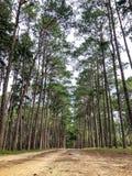 Καραϊβικό πεύκο στην περιοχή αναπαραγωγής Tonson, Chiang Mai στοκ εικόνα με δικαίωμα ελεύθερης χρήσης