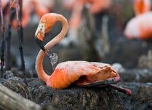 Καραϊβικό φλαμίγκο σε μια φωλιά με τους νεοσσούς Κούβα Στοκ Φωτογραφίες
