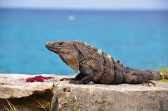 καραϊβικό iguana Μεξικό Στοκ φωτογραφία με δικαίωμα ελεύθερης χρήσης