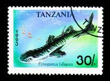 Καραϊβικό Lanternshark (hillianus Etmopterus), καρχαρίες serie, cir Στοκ Εικόνες