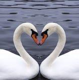 Καρδιά κύκνων Στοκ εικόνα με δικαίωμα ελεύθερης χρήσης
