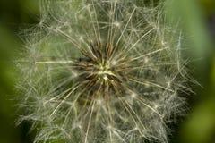 Καρδιά μιας πικραλίδας Δομή θερινών λουλουδιών Στοκ Φωτογραφία