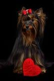καρδιά σκυλιών που αγαπά &ka Στοκ Εικόνα