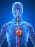 καρδιαγγειακό σύστημα διανυσματική απεικόνιση