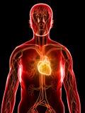 καρδιαγγειακό σύστημα ελεύθερη απεικόνιση δικαιώματος