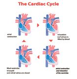 Καρδιακός κύκλος καρδιών της καρδιάς στο άσπρο υπόβαθρο που απομονώνεται πληροφορίες εκπαίδευσης κύκλων καρδιών γραφικές ελεύθερη απεικόνιση δικαιώματος