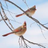 καρδινάλιοι θηλυκά βόρεια δύο στοκ φωτογραφίες