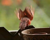 Καρδινάλιος για να πετάξει περίπου Στοκ Εικόνα