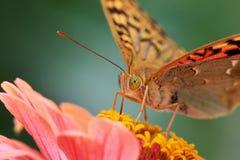 καρδινάλιος πεταλούδων στοκ εικόνα
