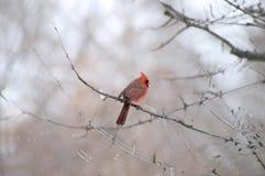 καρδινάλιος πουλιών Στοκ Εικόνες