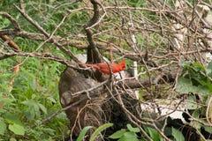 Καρδινάλιος στα ραβδιά Στοκ Φωτογραφία