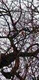 Καρδινάλιος στο δέντρο Σικάγο στοκ φωτογραφίες