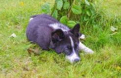 Καρελιανός αντέξτε το σκυλί Στοκ εικόνες με δικαίωμα ελεύθερης χρήσης