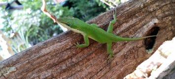 Καρολίνα Anole πράσινο Lizaard σε έναν κορμό δέντρων Στοκ εικόνες με δικαίωμα ελεύθερης χρήσης