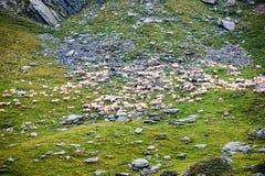 Καρπάθια πρόβατα βουνών το καλοκαίρι Στοκ Εικόνα