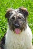 Καρπάθιος ρουμανικός ποιμένας σκυλιών Στοκ Φωτογραφίες