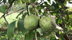 Καρποί ενός ξύλου καρυδιάς, που ωριμάζουν σε ένα δέντρο απόθεμα βίντεο