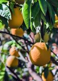 Καρποί ενός πορτοκαλιού σε έναν κλάδο στοκ φωτογραφίες
